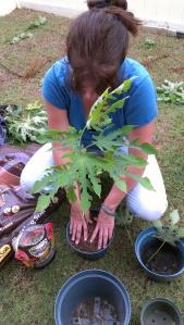 Kanu e ka mala wauke. (Plant the wauke garden.)