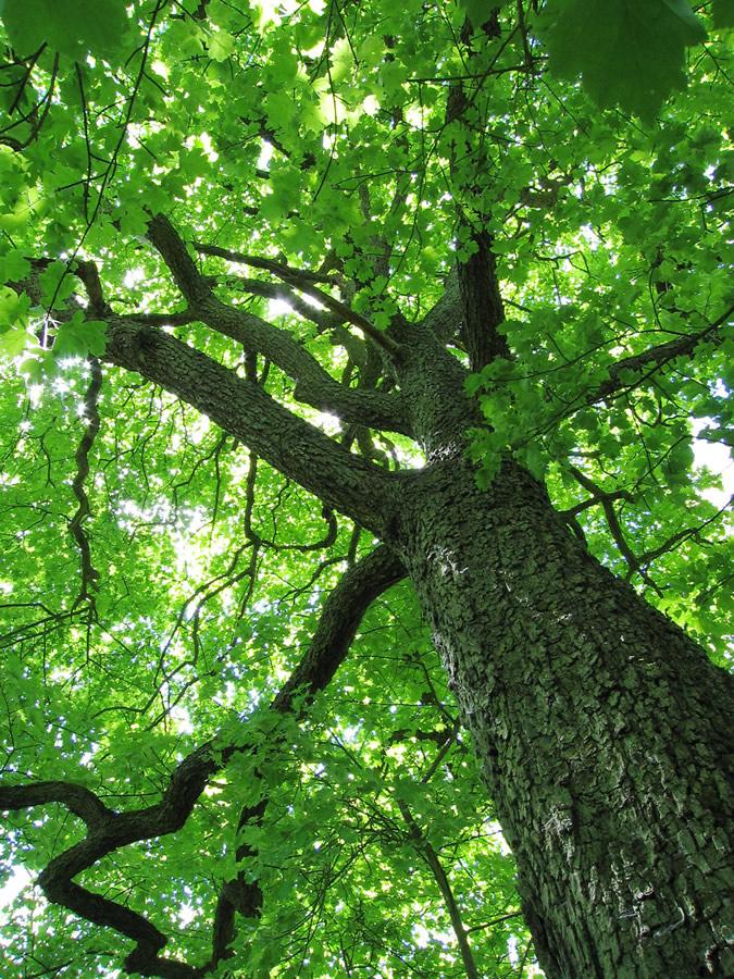 Olelo hawai i kapa kulture page 3 for Canopy of trees