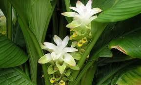 ʻōlena plant
